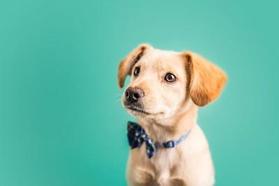 蝶ネクタイをしている子犬