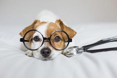 眼鏡をかけて伏せる犬と聴診器