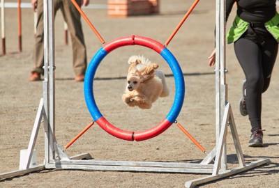 競技の障害物を飛ぶ犬