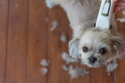 バリカンで刈られている犬