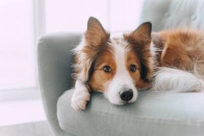 ソファの上からこちらを見つめる犬