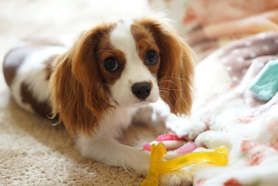 おもちゃで遊ぶキャバリア