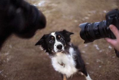 カメラを向けられるボーダーコリー