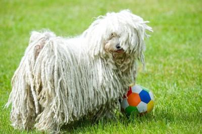 ボールで遊んでいるプーリー犬