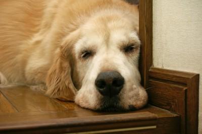 床で寝るゴールデンレトリバー