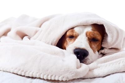 白い毛布をかぶっているビーグル
