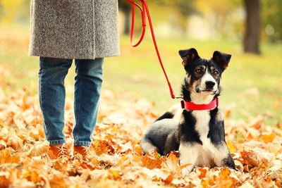 落ち葉の上を赤いリードで散歩する犬