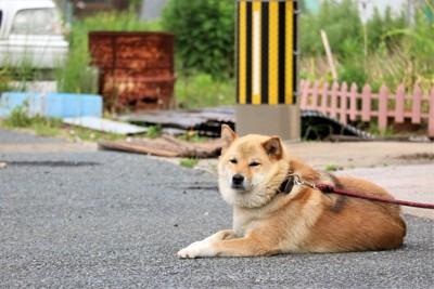 地面に伏せる柴犬、赤いリード