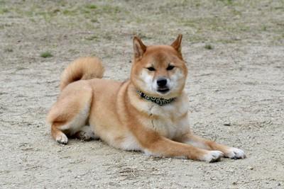 地面の上でふせをする柴犬