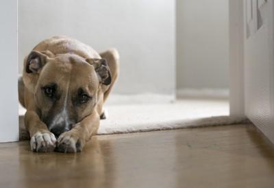 伏せをして両手で鼻を隠している犬