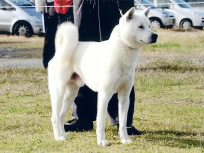 最高の紀州犬
