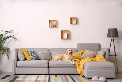 リビングの置かれた大きなソファーに座るゴールデンレトリバー
