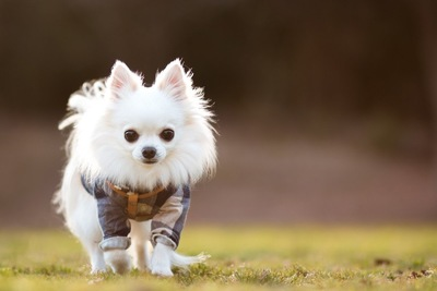 芝生の上を歩く白いチワワ