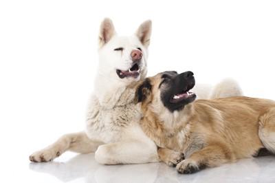 寄り添う白い立ち耳の犬と垂れ耳の犬