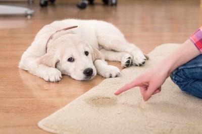 カーペットにおしっこをする犬