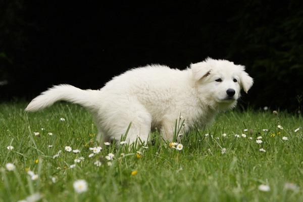 うんちをする白い犬