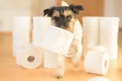 トイレットペーパーをくわえた犬