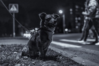座る犬、夜間のお散歩