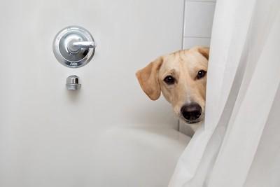 お風呂のカーテンから覗く犬