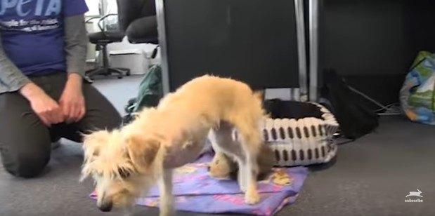 3本足で歩き出す犬