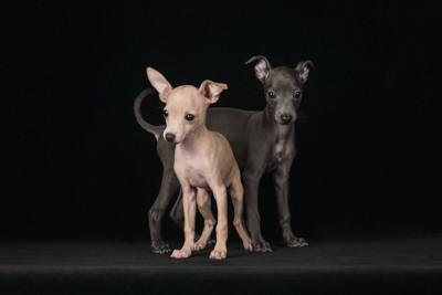 寄り添う二頭のグレイハウンドの子犬