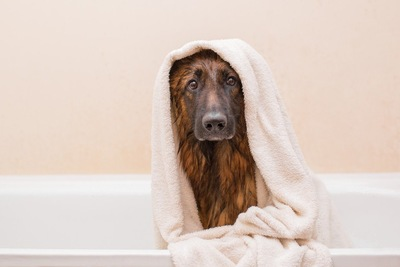タオルを巻いた犬、バスタブの中