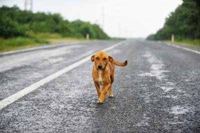 こちらに向かって歩いてくる茶の犬