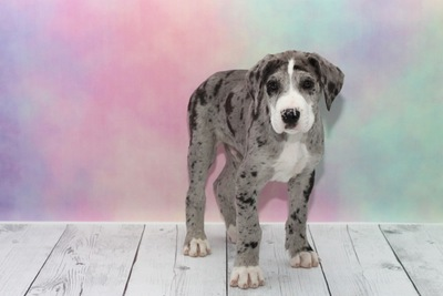 グレートデンの子犬