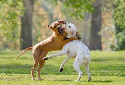 取っ組み合いをする白い犬と茶色の犬
