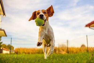 ボールをくわえて走る犬