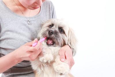 犬を抱っこして歯磨きをする女性