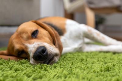 カーペットの上に薄目を開けて寝転ぶ犬