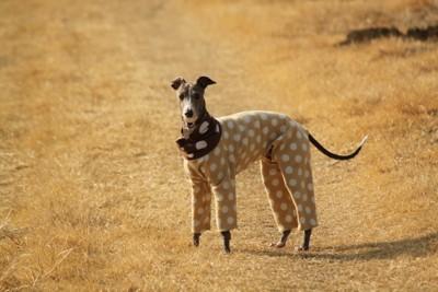 ぴったりサイズの服を着る犬