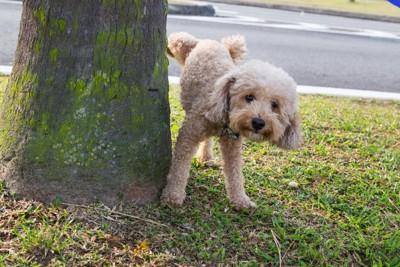 木にマーキングする犬