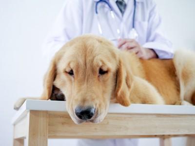 病院で診てもらっている犬