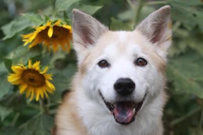 笑顔で見つめる犬とヒマワリ