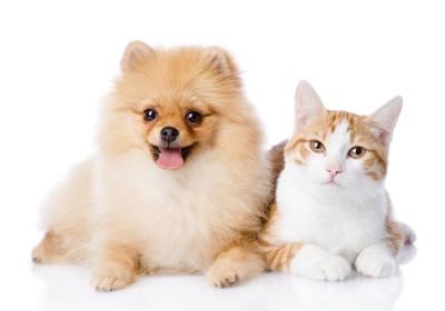 笑顔のポメラニアンと猫