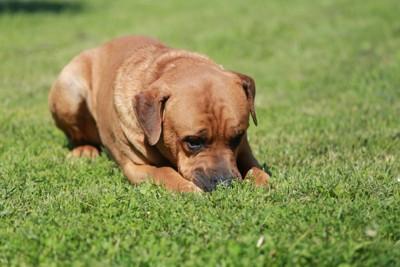 草の匂いを嗅ぐ土佐犬