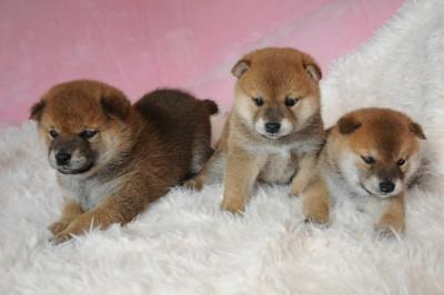 柴犬の赤ちゃん達