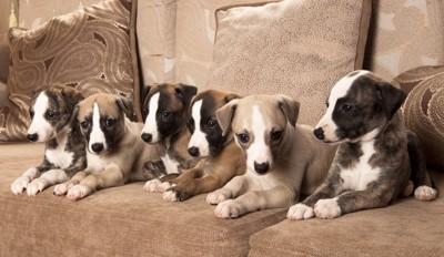 サイトハウンド分類の子犬達
