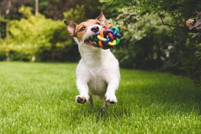カラフルなおもちゃをくわえて芝生で走る犬