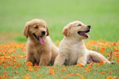 お花畑の中で伏せる2匹のゴールデンレトリバーの幼犬