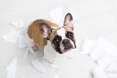 トイレットペーパーを散らかしている犬