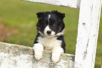 柵から顔をのぞかせるボーダーコリーの幼犬