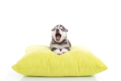 クッションの上であくびする犬