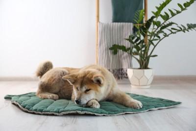 グリーンのマットで寝る秋田犬
