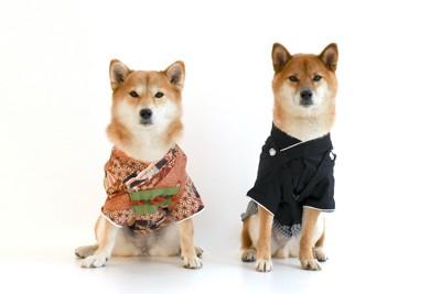並んで座る着物を着た二匹の柴犬