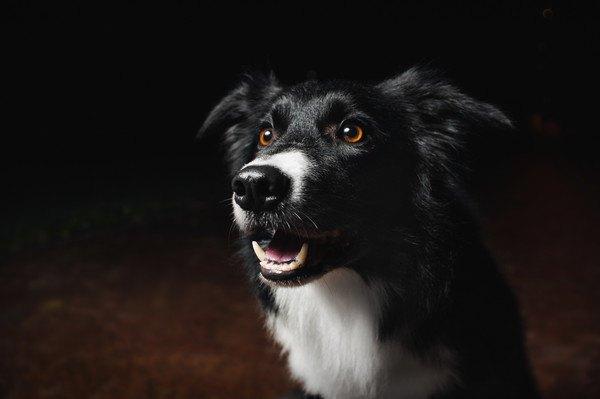 暗い所で吠える犬