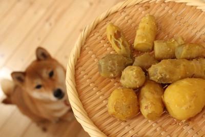 蒸したサツマイモを見上げる柴犬