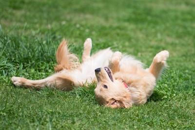 芝生の上でお腹を見せて寝転がる犬